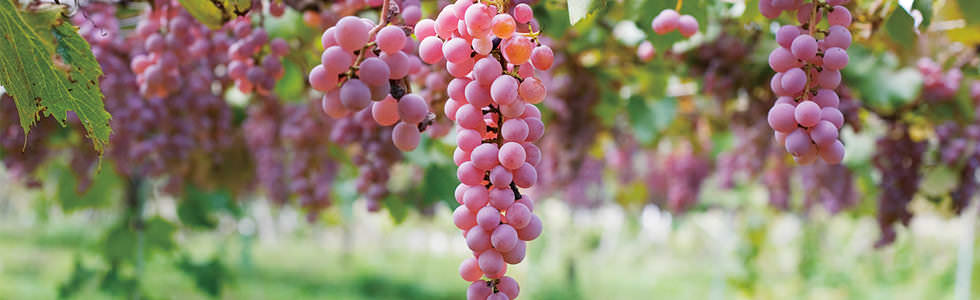 THE KOSHU GRAPE